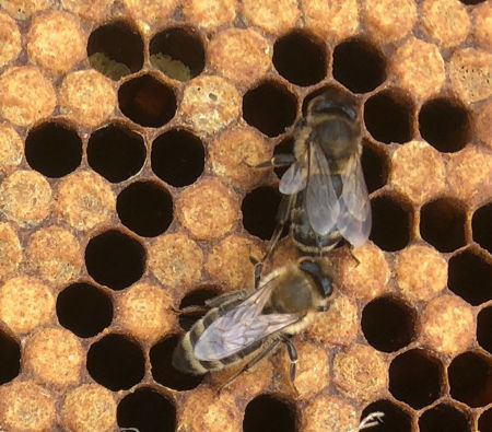 Picture for category Honey Bee Program
